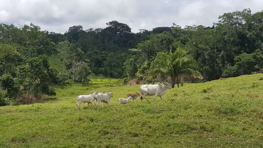 Cattle in Chico Mendes Extractive Reserve Luciana Duarte